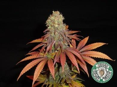 Soma Seeds Rock Bud