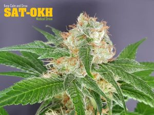 The Outlaw Seeds SAT-OKH
