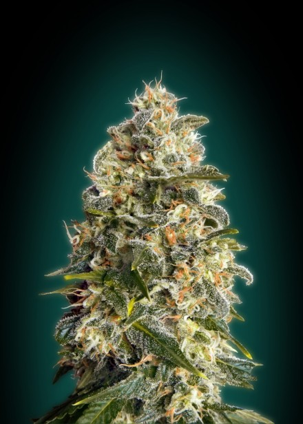 Advanced Seeds Heavy Bud