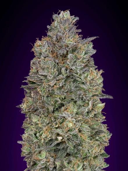 Advanced Seeds Critical Purple Kush