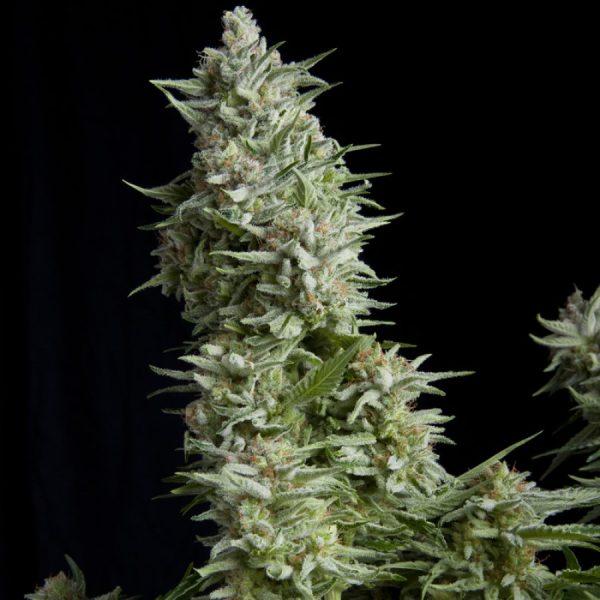 Alpujarreña Pyramid Seeds