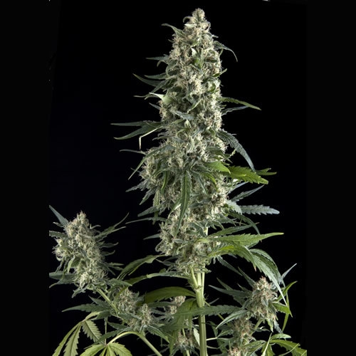 Pyramid Seeds Amnesia Gold