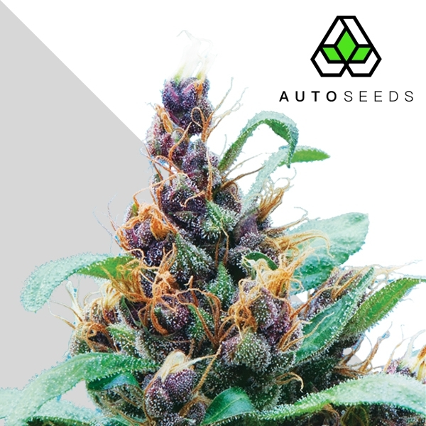 Auto Seeds Purple Stilton