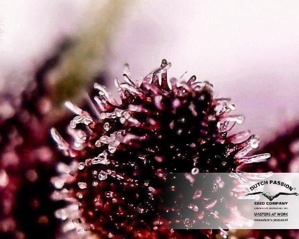 AutoBlackberry Kush Holandia