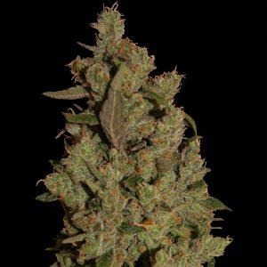 Barney's Farm CBD Critical Cure