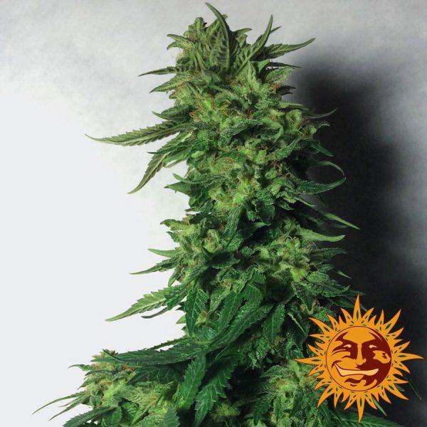 LSD Holandia