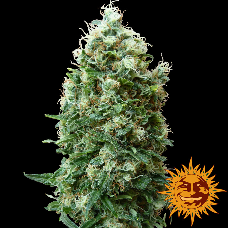 Barney's Farm Phatt Fruity