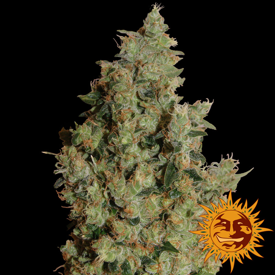 Barney's Farm Tangerine Dream