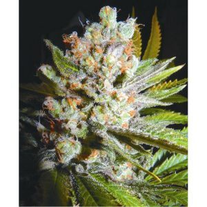 Biohazard Seeds Auto 4:20