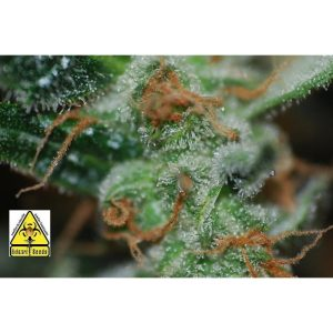 Biohazard Seeds Auto Somachigun