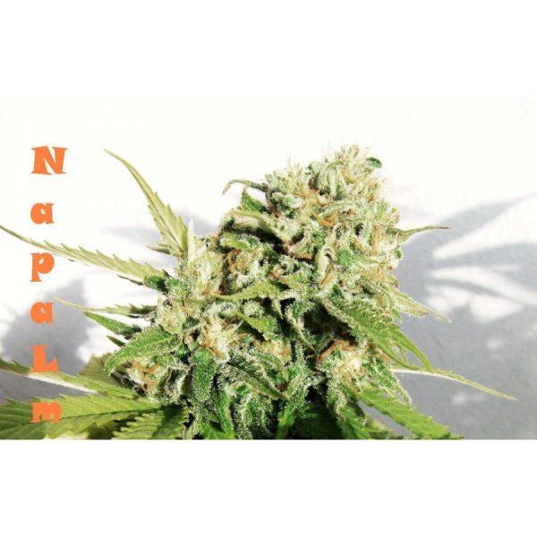 Napalm Biohazard Seeds
