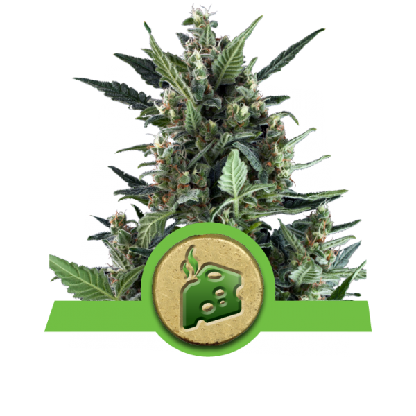 Royal Queen Seeds Blue Cheese AUTO