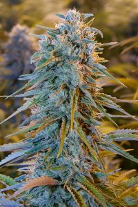 Humboldt Blue Dream