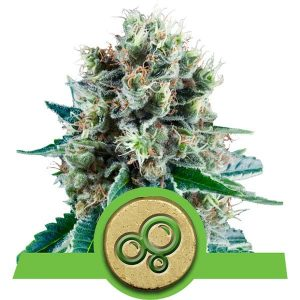Royal Queen Seeds Bubble Kush AUTO