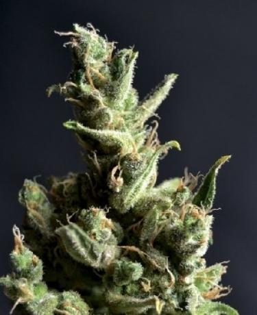 Amnesia 5 Cbd Seeds