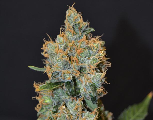 Cbd Seeds Lavender
