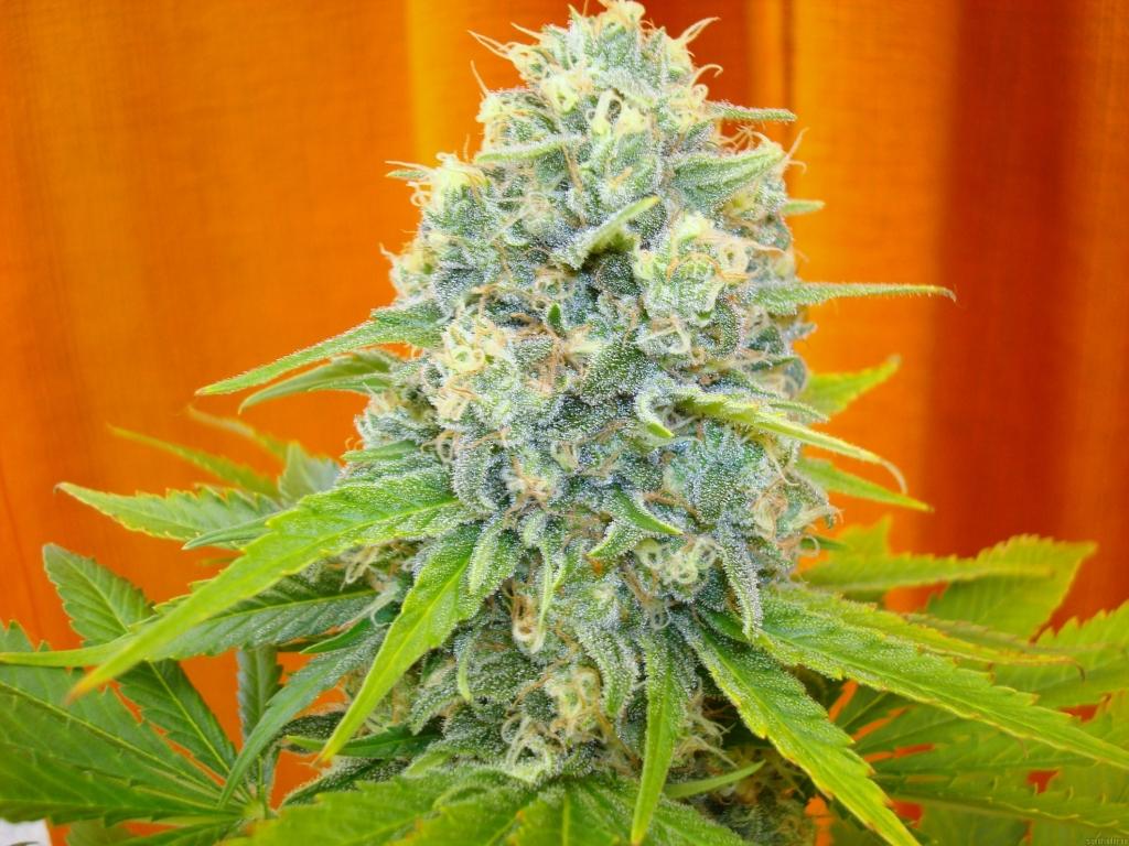 Medical Seeds Channel +