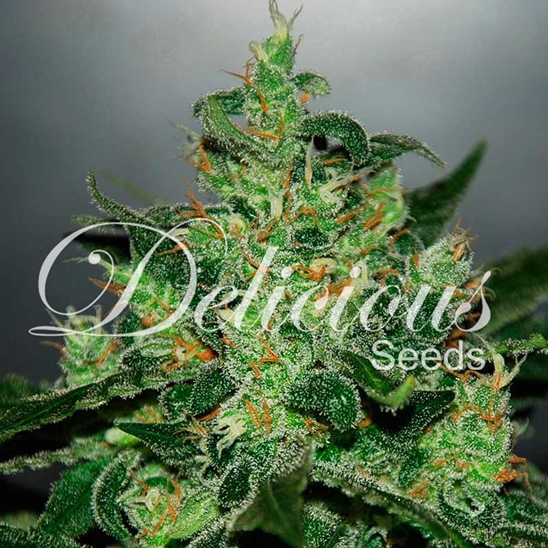 Delicious Seeds Critical Jack Herer Auto