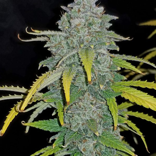 Blue Dream´matic FastBuds