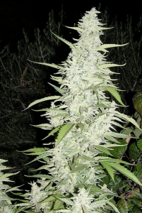 Female Seeds Maroc
