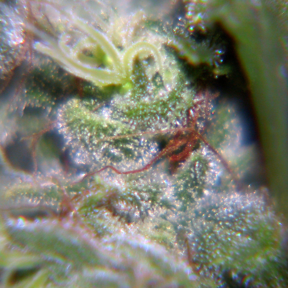 Female Seeds Nev. Haze