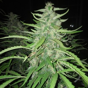Red Purps Female Seeds