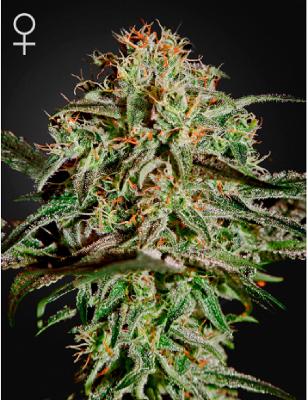 Green House Seeds A.M.S