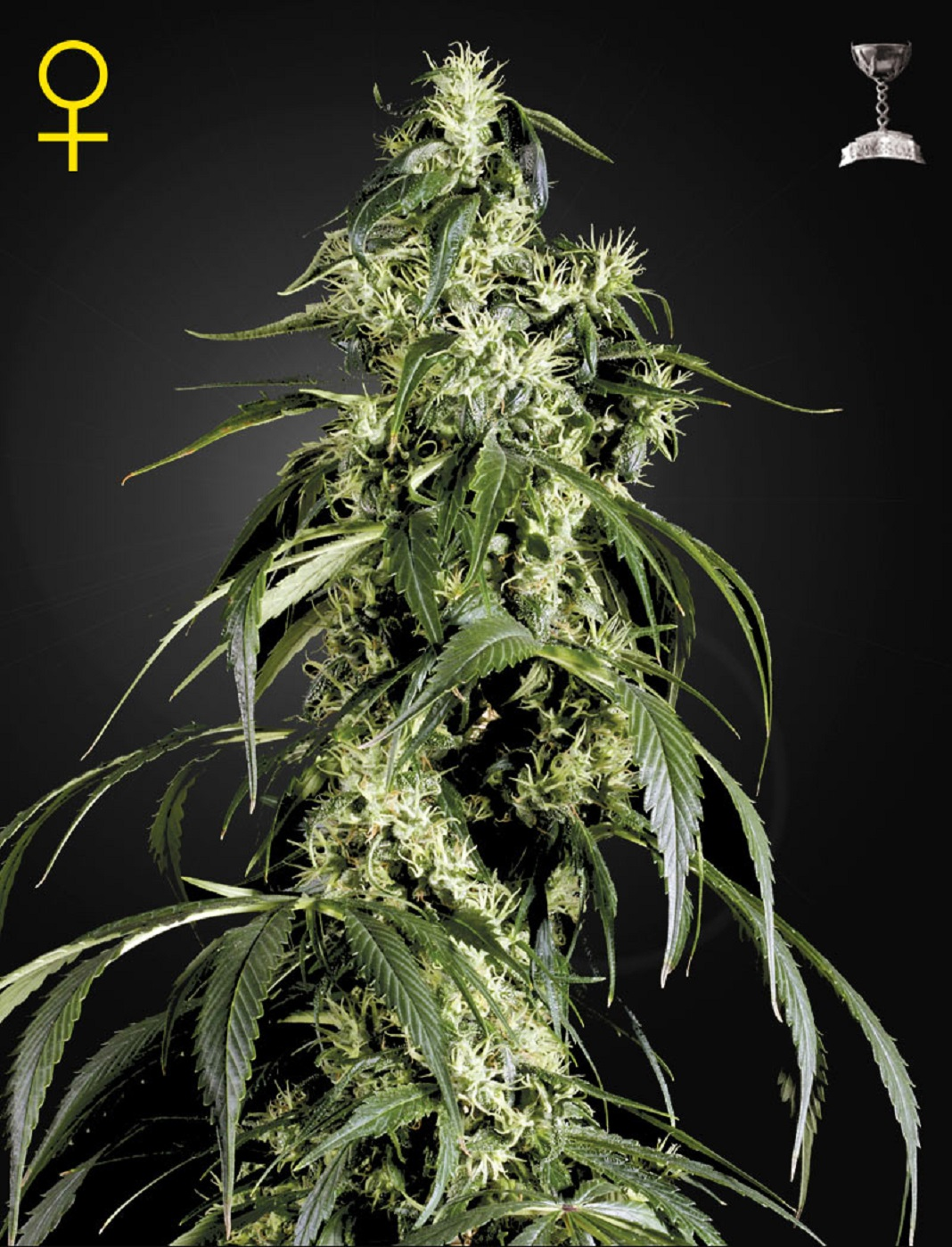 Green House Seeds Arjan's Haze #1