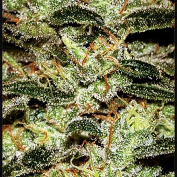 Moby Dick Green House Seeds