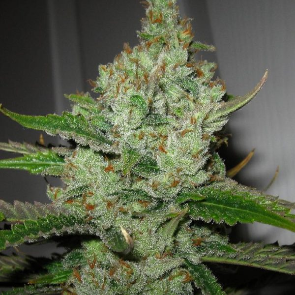 Super Lemon Haze Green House Seeds