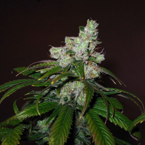 Trainwreck Green House Seeds