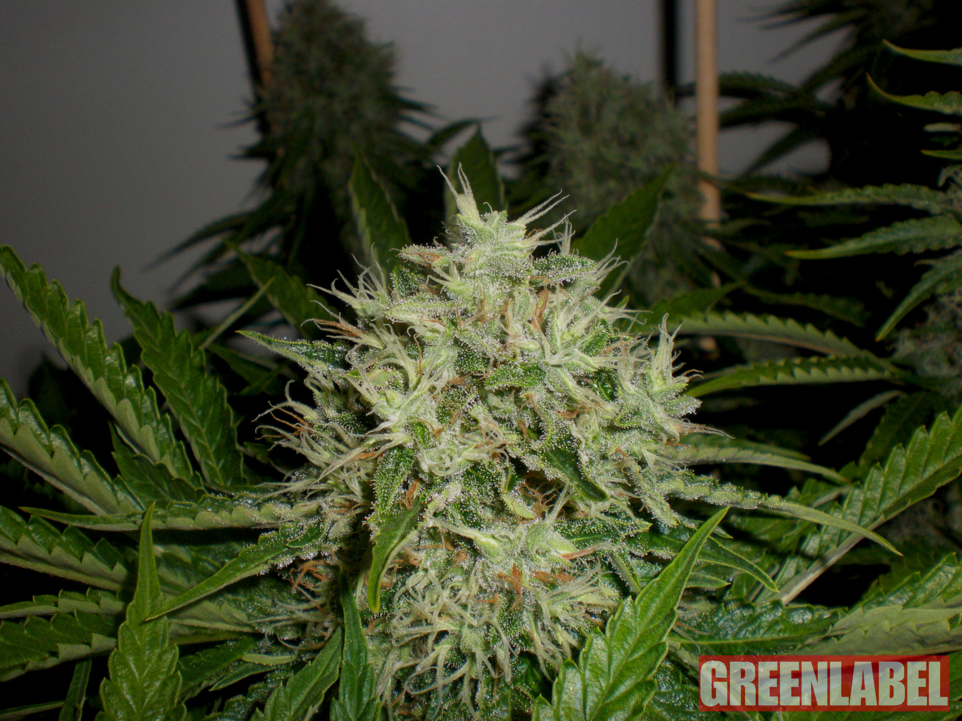 Greenlabel AK Widow 47
