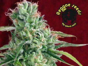 Reggae Seeds Juanita la Lagrimosa