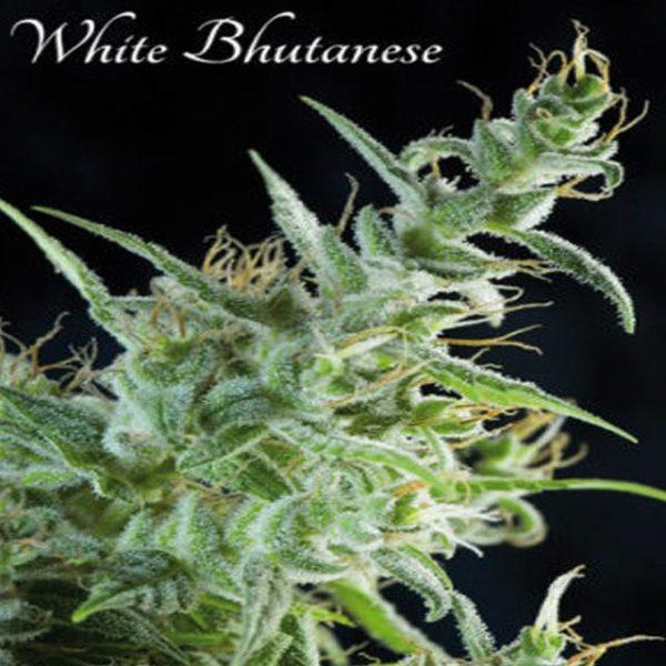 White Bhutanese Hiszpania