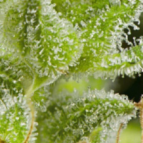 White Magic Mandala Seeds
