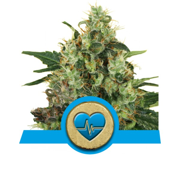 Royal Queen Seeds Medical Mass