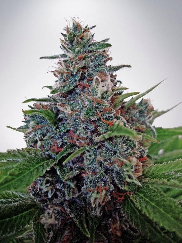 Ministry of Cannabis Auto Blue Amnesia