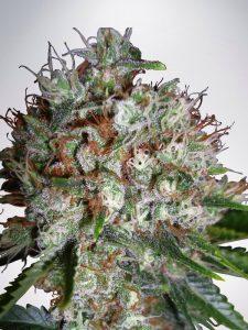 Ministry of Cannabis Big Bud XXL