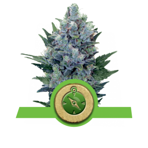 Royal Queen Seeds Northern Light AUTO