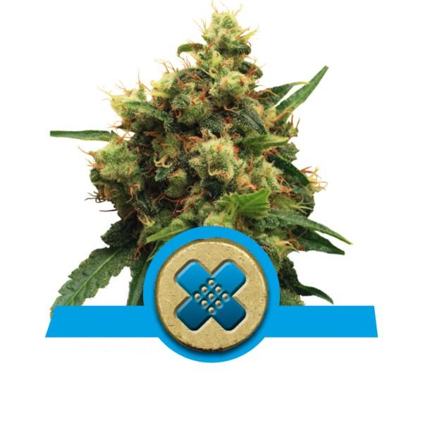 Royal Queen Seeds Painkiller XL