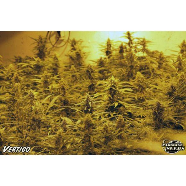 Vertigo Paradise Seeds