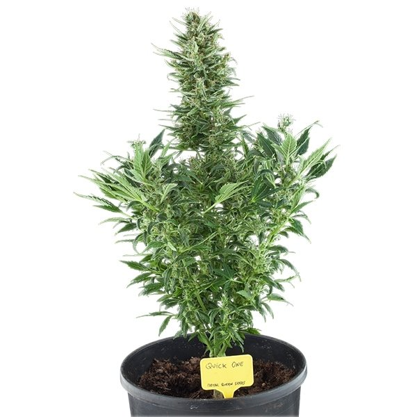 Quick One AUTO Royal Queen Seeds