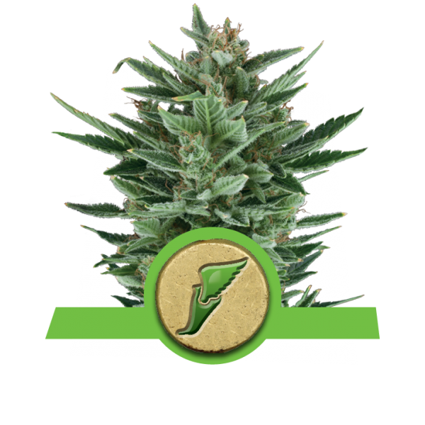 Royal Queen Seeds Quick One AUTO