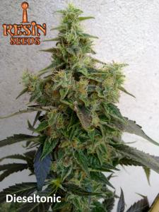 Resin Seeds Dieseltonic