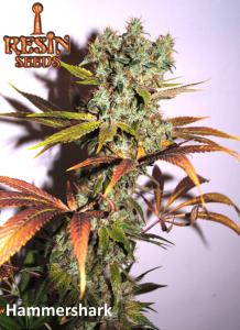 Resin Seeds Hammershark