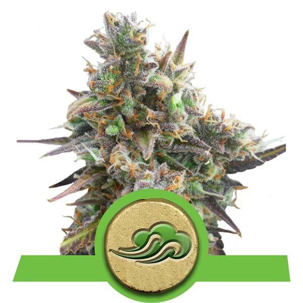 Royal Queen Seeds Royal Bluematic AUTO