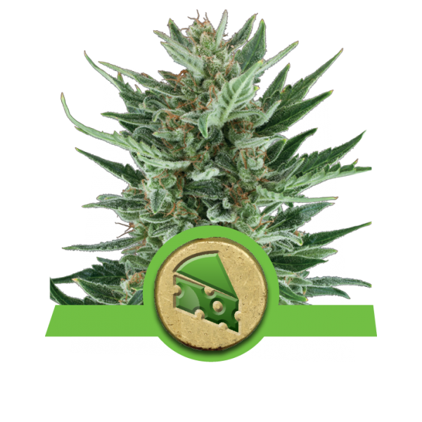 Royal Queen Seeds Royal Cheese AUTO