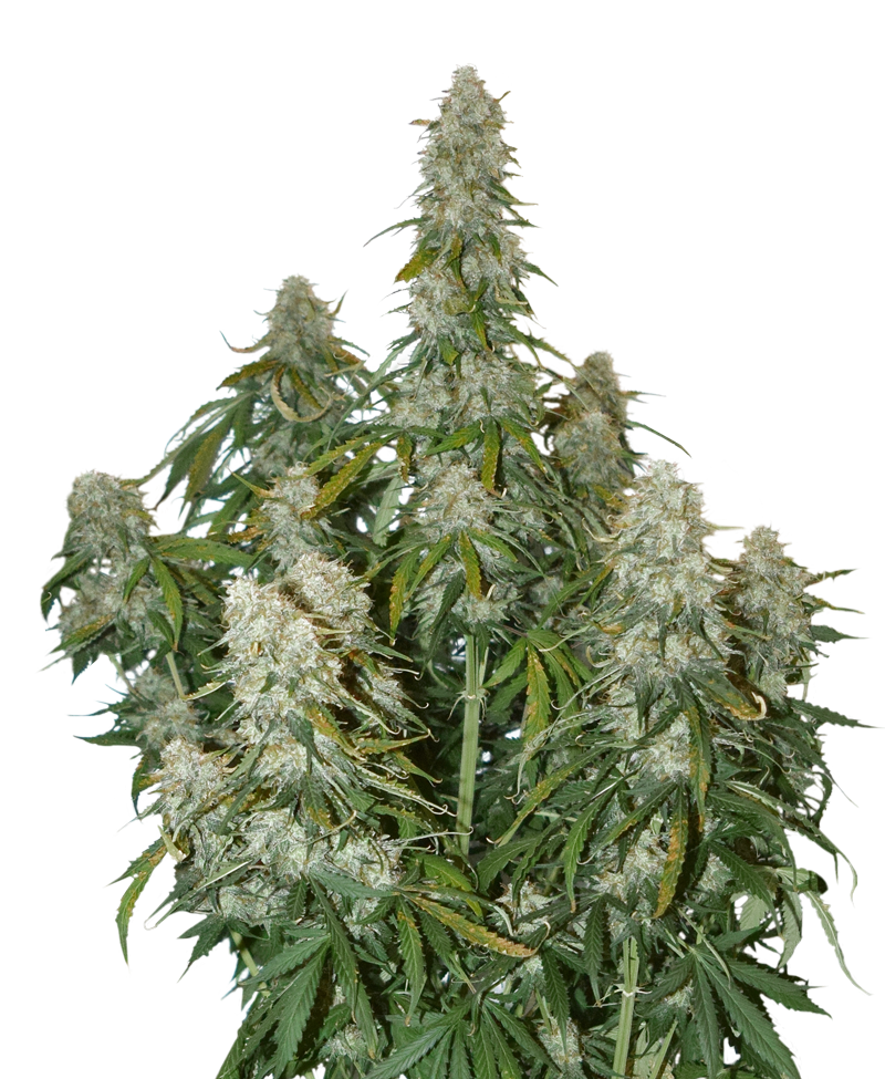 Seed Stockers Big Bud Auto