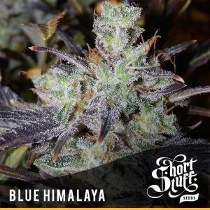 Short Stuff Seedbank Blue Himalaya