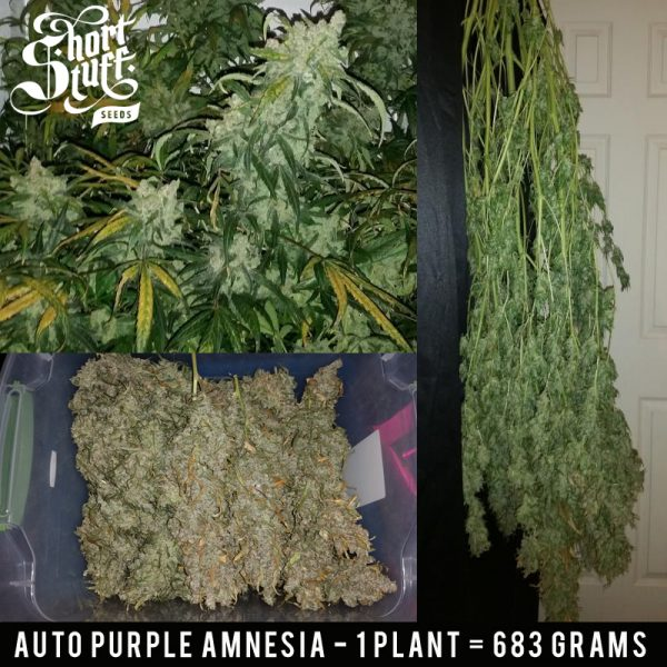 Auto Purple Amnesia Short Stuff Seedbank